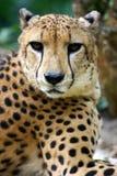 King Cheetah. A African King Cheetah at rest Royalty Free Stock Photos