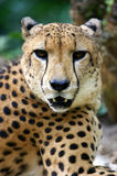 King Cheetah Stock Image