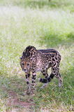 A King Cheetah. A distinctive fur patterned king cheetah on a prowl Stock Image