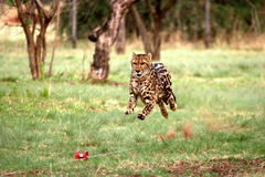 King Cheetah running. The cheetah was at the De Wildt Cheetah Project in South Africa. Were they were breed in captivity Royalty Free Stock Photography