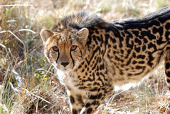 A king cheetah showing its unique coat pattern royalty free stock photo