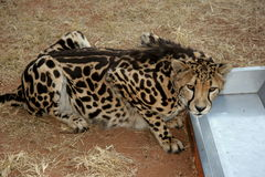 King Cheetah. The cheetah was at the De Wildt Cheetah Project in South Africa. Were they were breed in captivity Stock Photos