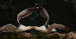 King of the Cliff--Two Seagulls Dualing Stock Photos