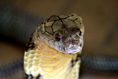 King cobra Royalty Free Stock Images