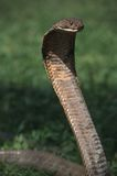 King cobra. The biggest venomous snake in the world, enough venom to kill an elephant, fast,smart and lethal...the King Cobra Stock Images