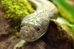 King Cobra Royalty Free Stock Photos