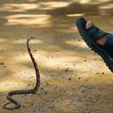 King cobra attacks man. A king cobra attacks man stock photo