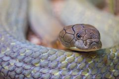 King Cobra. Close up of a coiling King Cobra making eye contact stock images