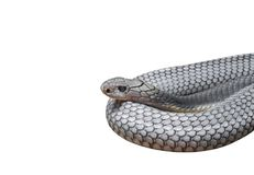 King Cobra Coiled Isolated on White Background, Clipping Path. Closeup King Cobra Coiled Isolated on White Background, Clipping Path Royalty Free Stock Photo
