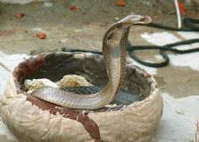 King cobra coming out Stock Image