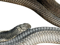 King Cobra Isolated on White Background, Clipping Path Royalty Free Stock Images