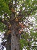 King cobra laburnum tree with snake hooded flower royalty free stock images