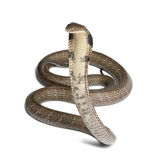 King cobra - Ophiophagus hannah Stock Image