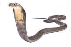 King cobra, Ophiophagus hannah. The King cobra, Ophiophagus hannah, is the largest venomous snake species in the world Royalty Free Stock Photos