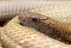 King Cobra. Ophiophagus hannah, photo taken Dec 2014 stock photo