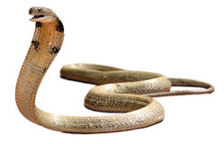 King Cobra. Is a poisonous animal Stock Photography
