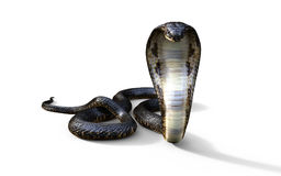 King Cobra Snake Stock Images