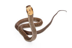 King Cobra Snake Looking Forward Stock Image
