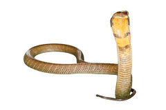 King Cobra Snake. Ophiophagus hannah, isolated on white background. Front view Royalty Free Stock Images