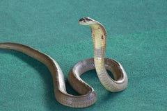 King cobra. Snake show - King cobra, Phuket, Thailand Stock Images