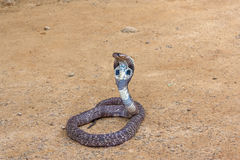 King Cobra snake. King cobra sliding along the sand .The world's longest venomous snake stock image