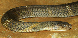 king cobra snake Stock Image