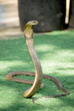 King Cobra snake is the world's longest venomous snake Stock Images