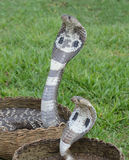 King Cobra Snakes Stock Photography