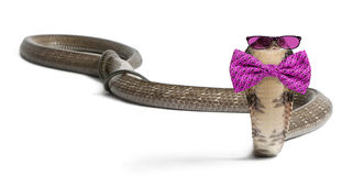 king cobra wearing glasses and a bow tie Stock Image