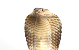 King Cobra on white Stock Photography