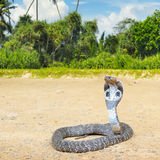 King cobra in the wild nature Royalty Free Stock Images