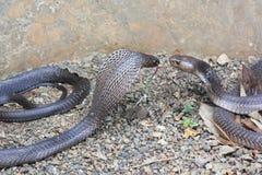 King cobras outdoor Stock Photos