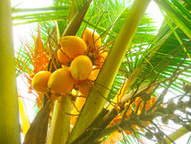 King coconut bunches growing on the palm. royalty free stock images