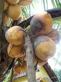 King coconut fruit orange brown color hanging on the tree. King coconut fruit at the tree brown orange coconuts on the garden Stock Photography