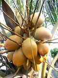 King coconut fruit orange brown color on the tree. King coconut fruit orange at the tree brown color Stock Photo