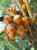 King coconut fruit orange brown red color on the tree Royalty Free Stock Photos