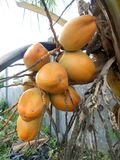 King coconut fruits orange brown. King coconut fruits orange at the tree brown Royalty Free Stock Photos
