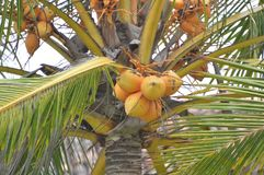 King Coconut Plant. At a garden in Sri Lanka Royalty Free Stock Images