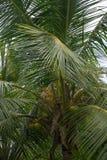 King Coconut Tree Stock Photo