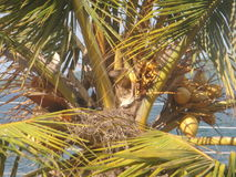 King coconut tree and the craw nest. Next to ocean Stock Photography