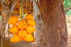 Free King Coconuts Are Displayed For Sell On Small Roadside Stall In Sigiriya Stock Image - 96383681