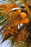 King Coconuts. Fresh king coconuts on a tree Stock Images