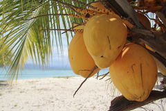 King coconuts on their palm tree. King yellow coconuts on their palm tree in white sand beach Royalty Free Stock Photos