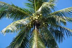 King Coconuts in tree Stock Photo