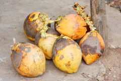 King Coconuts (Thembili) at a fruit kiosk on the road Sri Lanka Stock Image