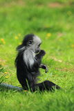 King colobus monkey Stock Image