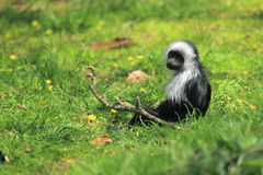 King colobus monkey Royalty Free Stock Photo