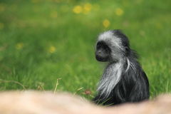 King colobus Stock Photography