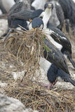 King Cormorant Building its Nest Stock Image