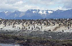 King Cormorant colony, Argentina. Colony of King Cormorants, Beagle Channel, Argentina Royalty Free Stock Photography